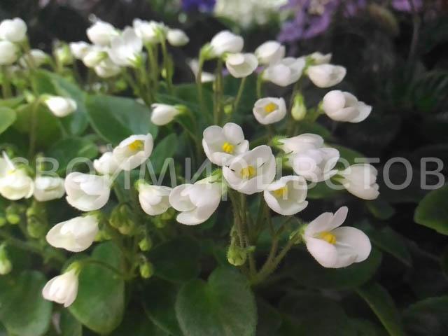 Белые цветы в виде колокольчиков