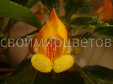 Бальзамин Impatiens Jungle Gold