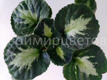 Хирита Brassicoides Marble Leaf